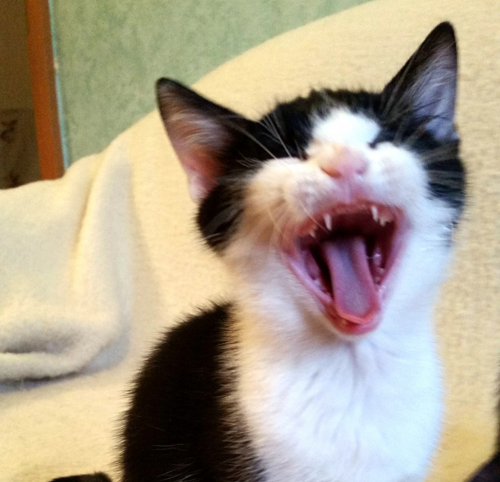 Katzenbaby reißt das Maul auf