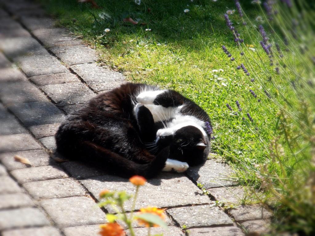 Bild: Katze Lisa ruht auf einem Gartenweg
