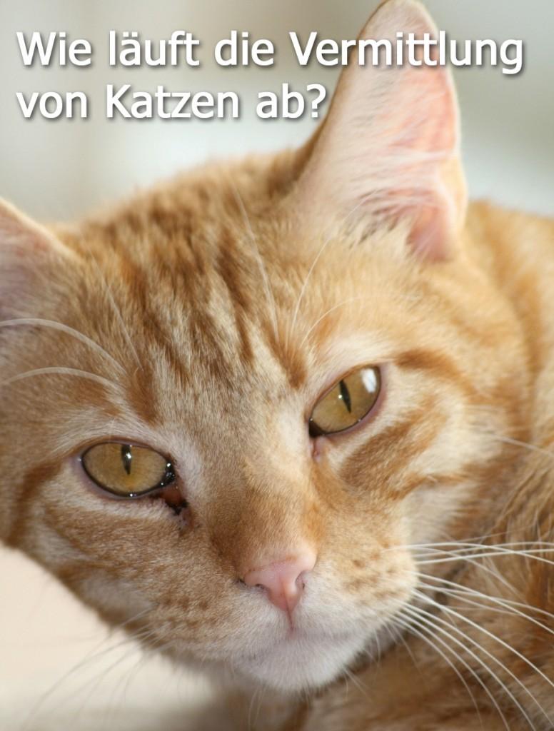 Wie läuft die Vermittlung von Katzen ab?