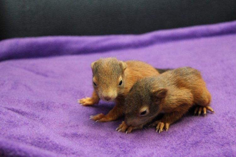 Abbildung: Eichhörnchenkinder