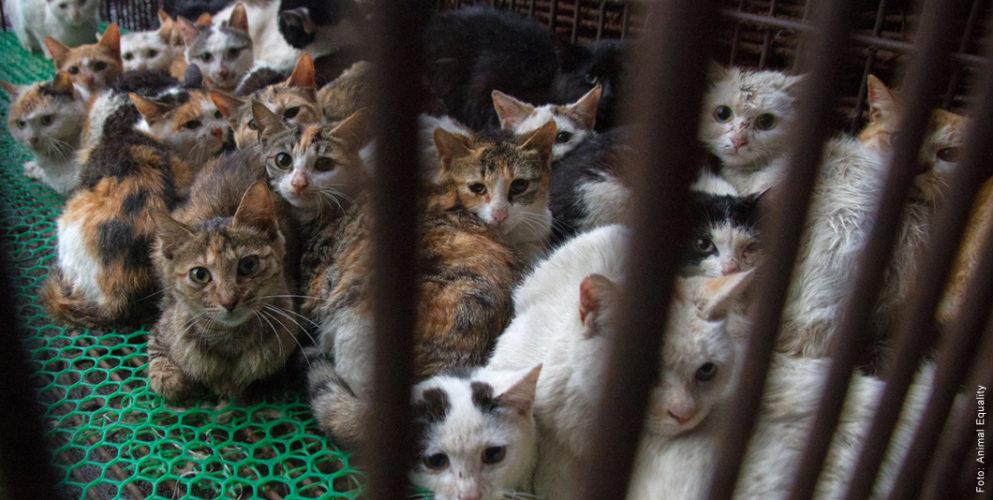 """Abbildung: Katzen im Käfig einer """"Fellproduktion""""."""