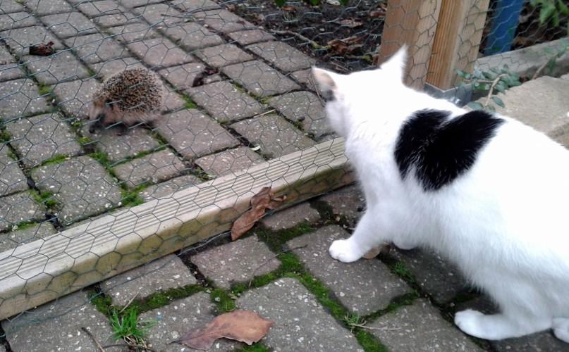 Katze betrachtet Igel durch einen Zaun.