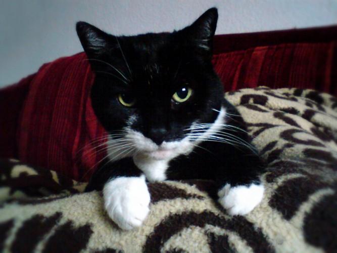 Bild: Schwarz-weisse Katze namens Lisa.