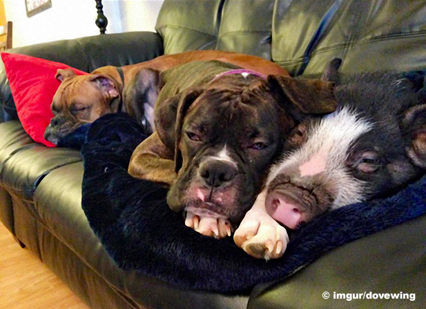 Abb: Hunde und ein Schwein auf einer Couch