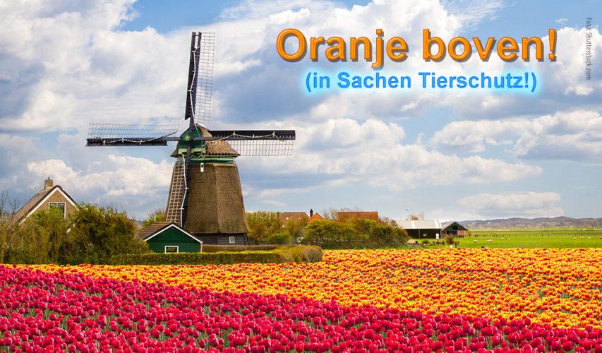 Bild einer Windmühle vor einem Tulpenfeld